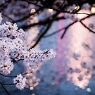 Japanese Sakura at Night by TokyoLens