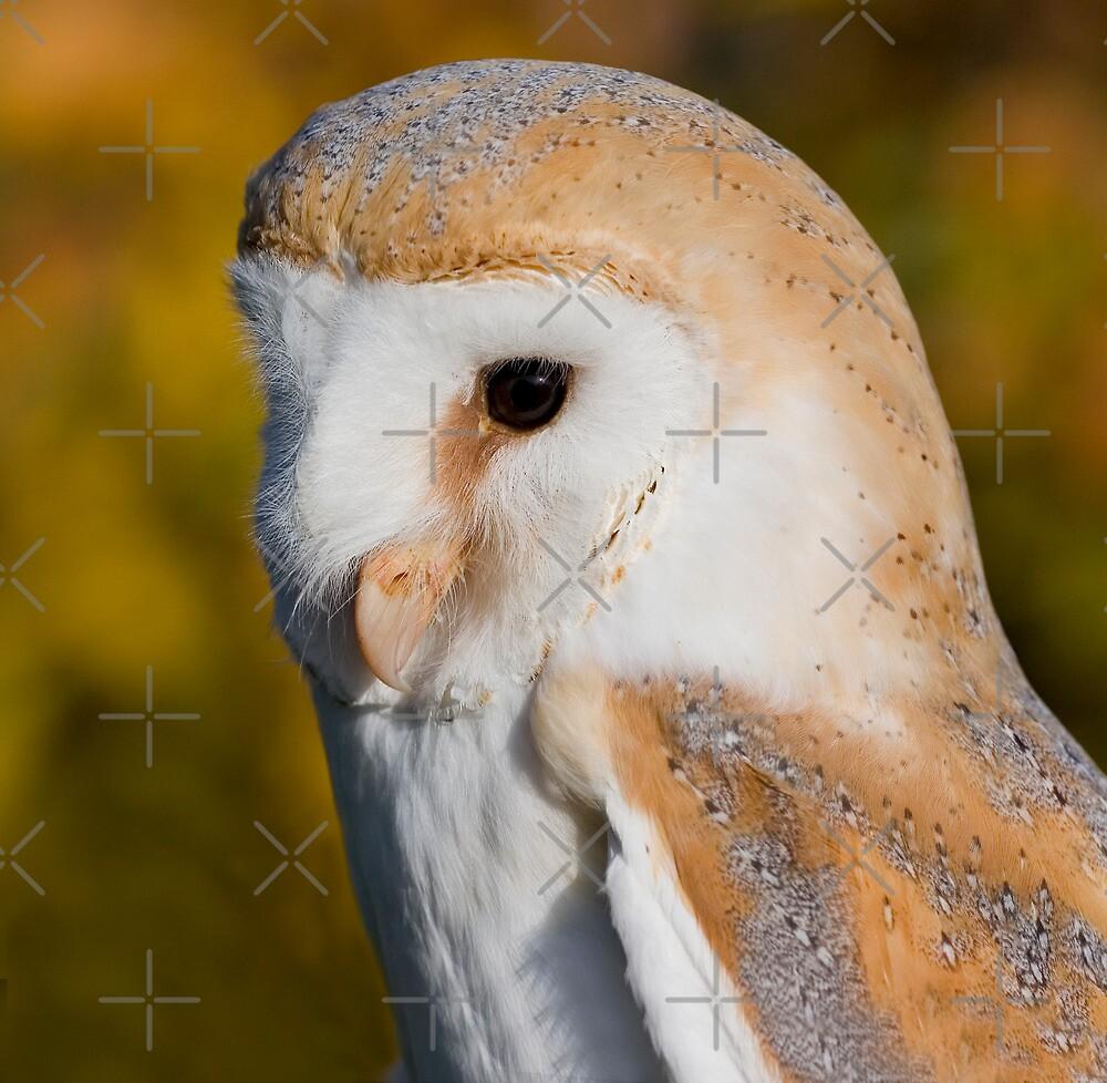 Barn Owl by Geoff Carpenter