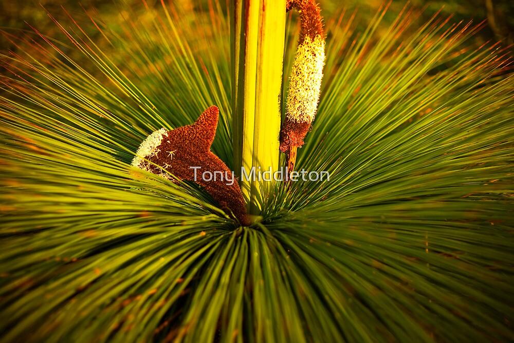 Xanthoria australis by Tony Middleton