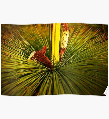 Xanthoria australis Poster