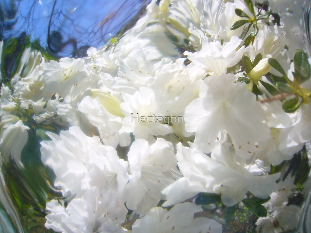 Azalea by Hectagon