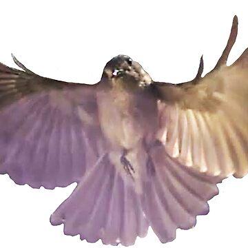 Rufous Whistler in flight by davidfraser