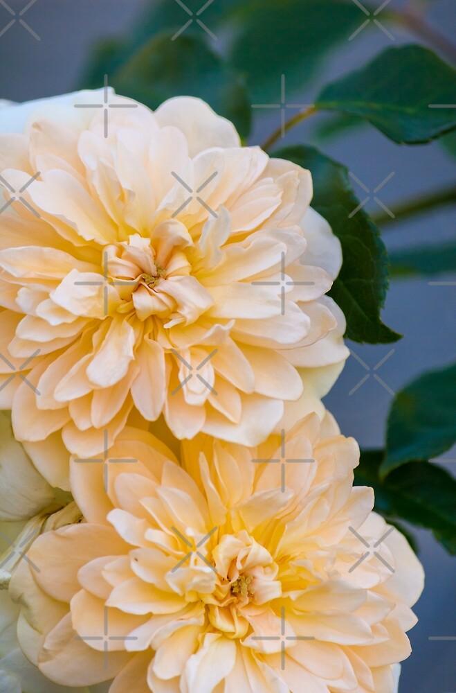 Rosas Bonitas De Karenwoodart Redbubble