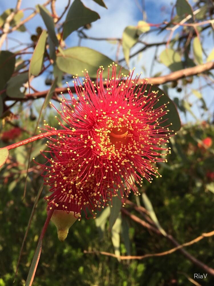 Eucalyptus caesia by RiaV