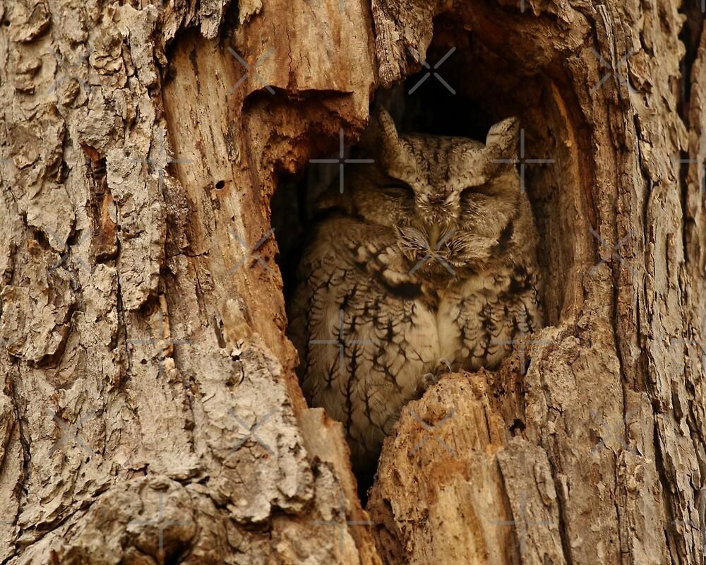 Sleepy Screech Owl (video with open eyes in description) by Heather King
