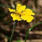Goodenia - Australian Wild Flower by Bev Pascoe