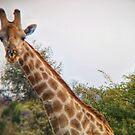 Giraffe among the trees by Angela Ferguson