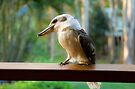 Kookaburra by Renee Hubbard Fine Art Photography