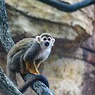 Squirrel Monkey by Bob Hardy