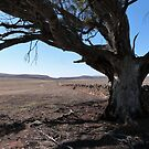 Following the old stone wall under Lone Tree! Truro Sth. Australia. by Rita Blom