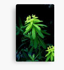 euphorbia gibelliana - ItalY Piedmont endemism Leinwanddruck