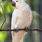 Sulphur-crested Cockatoo by Vickie Burt
