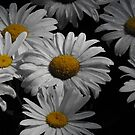Oxeye Daisy's After A Rain by Tracy Wazny