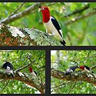 Red Headed Woodpecker Feeding His Young by Irvin Le Blanc