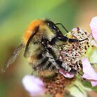 Bumble Bee on Bramble Flower by AnnDixon