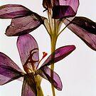 Purple Petals II by elisabeth tainsh