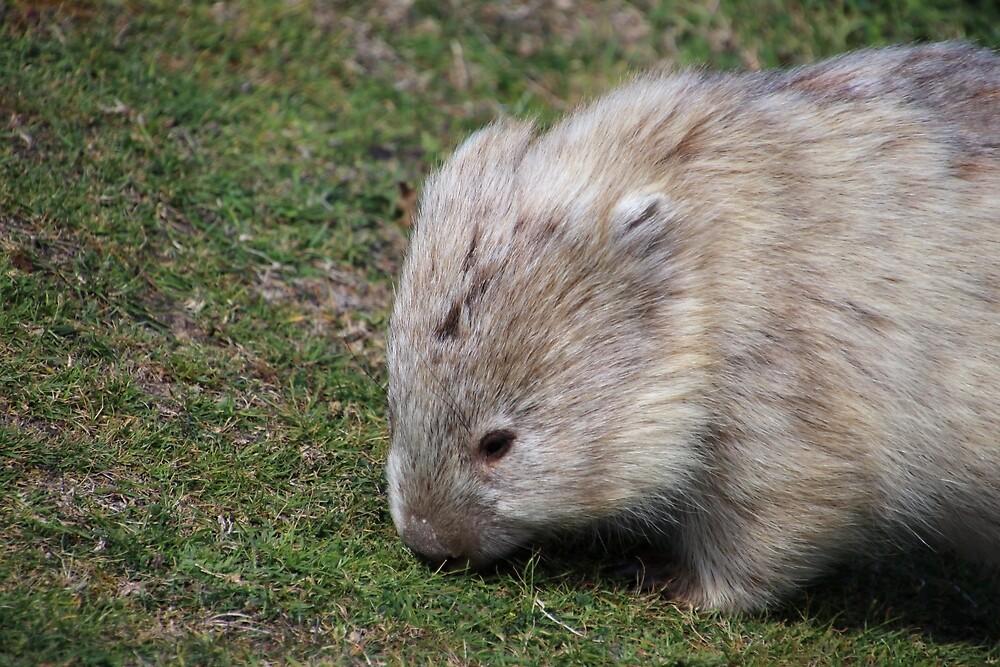 wombat on Maria Island (Tasmania, Aus) by Gaylene Norton