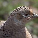 Female Pheasant  by citrineblue