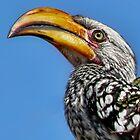 Yellow-Billed Hornbill by Kay Brewer