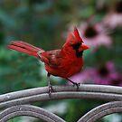 Cardinal - Etobicoke, Ontario by LisaPiellusch