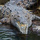 Crocodile - Black River, Jamaica by LisaPiellusch