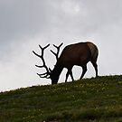 Elk grazing in Rocky Mountain National park by Melanie Roelofs