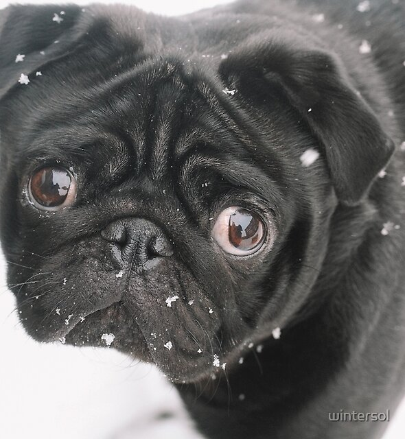 Pug In The Snow by wintersol