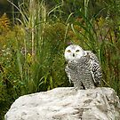 Curious Snowy Owl by Heather King