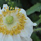 White Poppy by Julie Sherlock