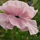 Pink Poppy by Julie Sherlock