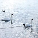 Swans by babibell