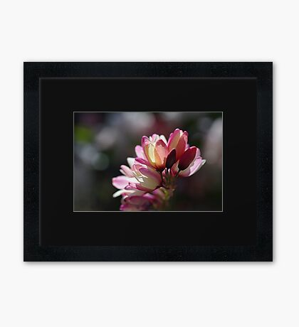 Ixia Flowers - Love Of Spring Framed Print