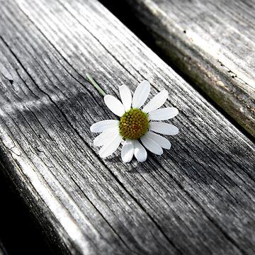 daisy by photolia