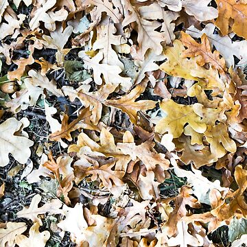 Directly above view of the fallen brown oak leaves on the lawn for use as a background close up by vladromensky