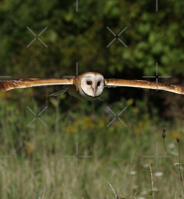 Barn owl in flight by Heather King