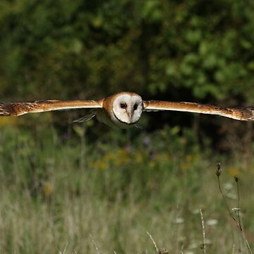 Barn owl in flight by locustgirl