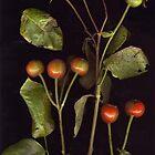 Rosehips by Barbara Wyeth