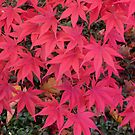 The front yard Japanese maple by REC13