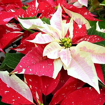 Red and White Christmas Poinsettias by Digitalbcon