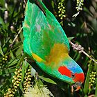 Musk Lorikeet by peasticks