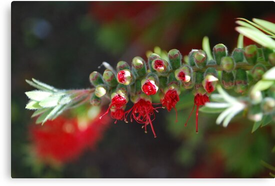 Aussie Red, breaking forth by Lozzar Flowers & Art