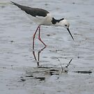 Black-winged Stilt 01 by Werner Padarin