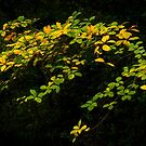 Beautiful leaves by Ralph Goldsmith