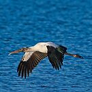 Gray Stork in Flight by TJ Baccari Photography