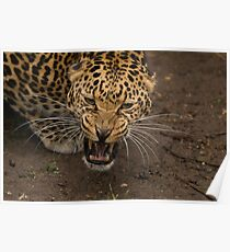 African Leopard Poster