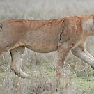 On the Prowl - Serengeti Lion, Tanzania, Africa by Adrian Paul