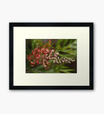Aussie Red Beauty Framed Print