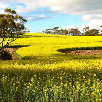 Canola Country by davidrozario