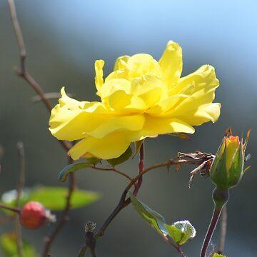 Stunning yellow by lizdomett