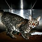 Shelter Cat by Mark Ross
